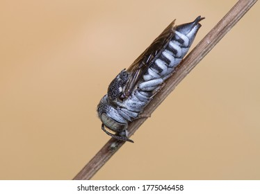 Cuckoo Leaf-cutter Bees. Coelioxys argentea,Male.Photo made in Spain