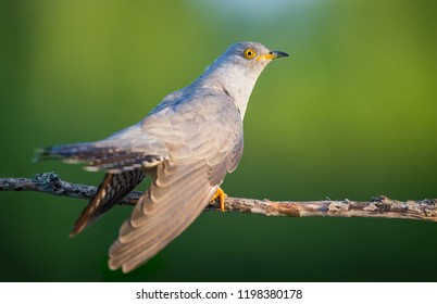 The Cuckoo on the green Background
