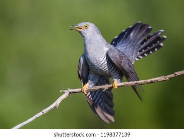 Cuckoo on the Perch
