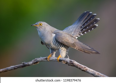 The Cuckoo on the Perch