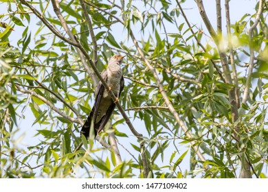 Cuckoo perched on a tree branch at Beijing, China,