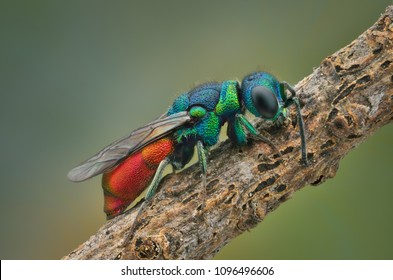 cuckoo wasp by resting