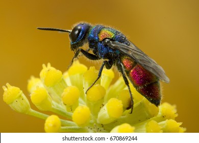 Cuckoo wasp. It is a parasitic wasp, and lays its eggs in other wasp's nest, just like a cuckoo.