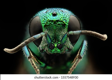 cuckoo wasp portrait high resolution