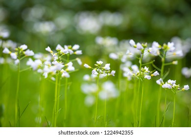 Cuckooflower, Cardamine pratensis, blooming in a meadow during spring. Abstract creation using selective focus. This plant is a host plant for the orange tip butterfly (Anthocharis cardamines).