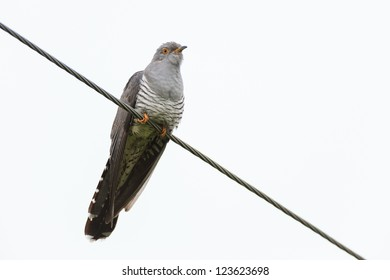 Cuculus canorus, Common Cuckoo. Wild bird in a natural habitat. Wildlife Photography.