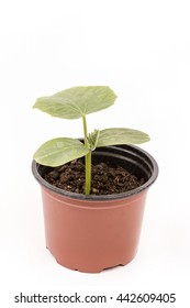 Cucumber baby plant in the brown plastic pot