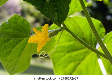 Cucumber berry - a flowering young vegetable on the bush - zielony owoc z brodawkami - green fruit with warts - Shutterstock ID 1788292667