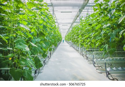 Cucumber Farm Greenhouse
