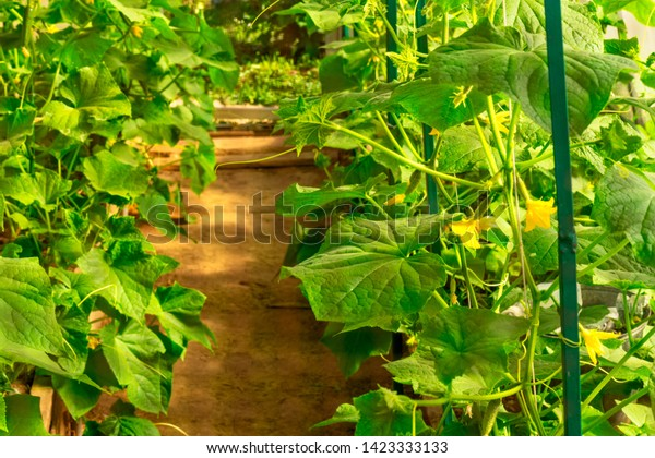 Cucumber farm greenhouse plants with pathway in the center