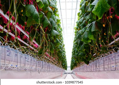 Cucumber farm inside modern greenhouse.