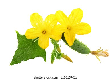 Cucumber with flower isolated on white background