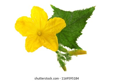 Cucumber flower with leaf isolated on white background