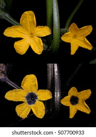 Cucumber flowers in visible light (top) and false-color reflected UV (bottom).