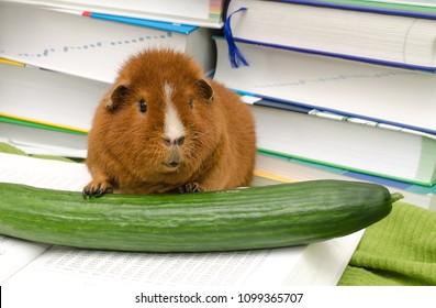 cucumber genius (US-Teddy guinea pig)