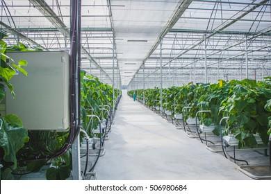 Cucumber Greenhouse Farm