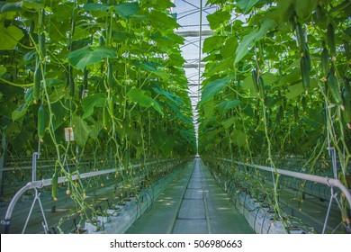 Cucumber Greenhouse Farm grow