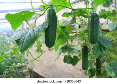Cucumber harvest in a small domestic greenhouse. The cucumber fruits grow and are ready for harvesting. Variety of cucumbers, climbing vegetables, suitable for growing in the greenhouse.