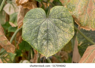 cucumber leaves with spider mite