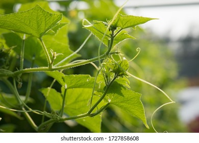 Cucumber, non-toxic vegetables, can be used as food or eat immediately.