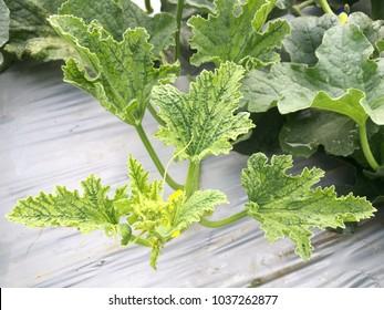 Cucumber Plant CMV Virus Plant