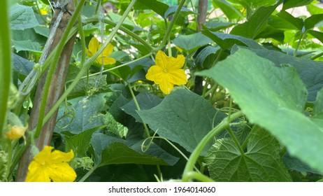 Cucumber Plant, Green Cucumber in Farm, Close up...