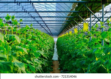 Cucumber plant in greenhouse