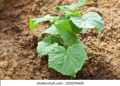 Cucumber plant growing in a garden bed .