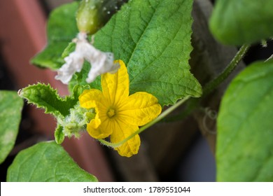 Cucumber plant growing with yellow flower close up