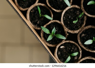 Cucumber plant in seedling peat pot on a rustic wooden table. Young seedlings tomato with water drops in peat pots. Selective focus. Potted seedlings growing in biodegradable peat moss pots close up