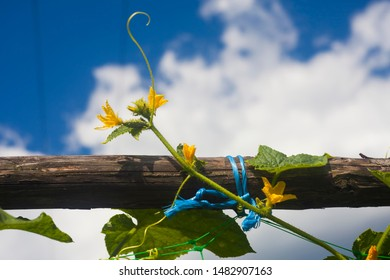 cucumber plant tied with rope