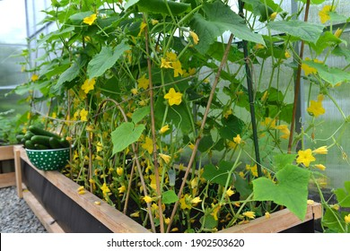 Cucumber plant in wooden box in greenhouse and havest.  Vintage botanical background with plants, home hobby still life with gardening objects and nature.