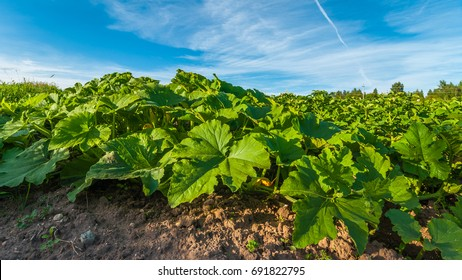 Cucumber plantation on an agricultural field in a summer day under a blue sky