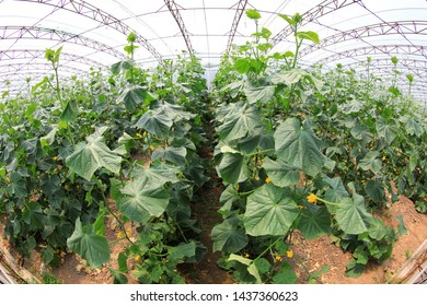 Cucumber plants are in greenhouses, North China