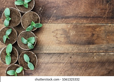 Cucumber plants in seedling peat pots over a rustic wooden table. Image shot from above in flat lay style.