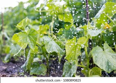 Gurkenpflanzen unter Regen im Gemüsegarten, Landwirtschaft und Regenwetterkonzept