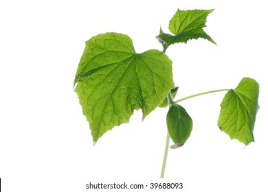 Cucumber Seedlings on white background