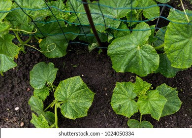 Cucumber sprouts in the field ,   seedlings in the farmer's garden , agriculture, plant and life concept