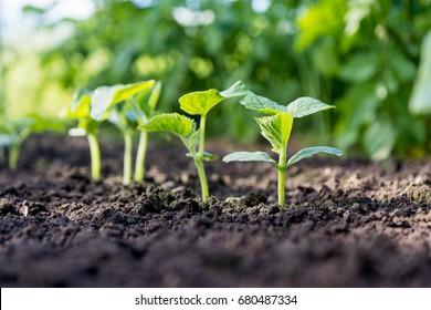 Gurkensprossen auf dem Feld,   Setzlinge im Bauerngarten , Landwirtschafts-, Pflanzen- und Lebenskonzept (weicher Fokus, enge Feldtiefe)