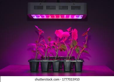Gurkensprossen unter LED-Leuchte