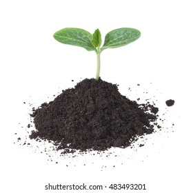 cucumber tree sapling seedling in soil isolated on white