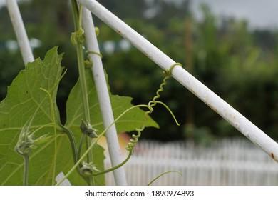 Cucumber vine vines on the iron fence