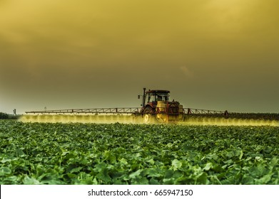 Cucumbers field at harvest time ( spraying field two days before harvesting )
