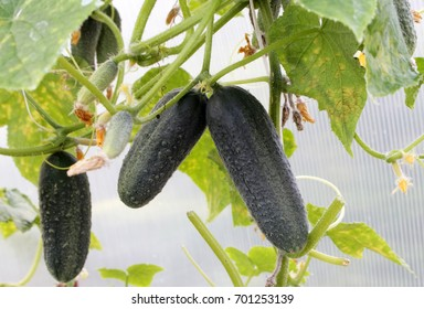 Cucumbers in the garden in the village. Whip cucumbers on the grid.