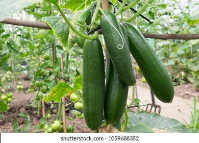 Cucumbers growing in allotment cold tunnel
