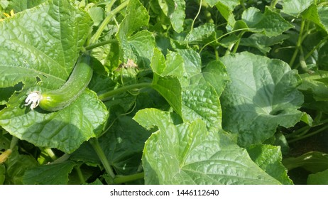 Cucumbers growing amidst large green leaves