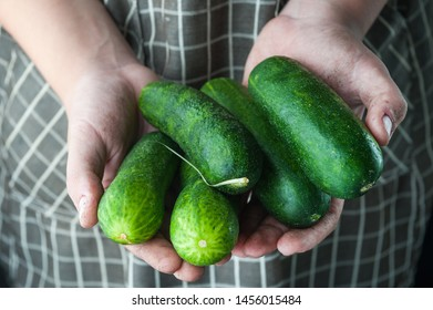 cucumbers in the hands stained in the ground