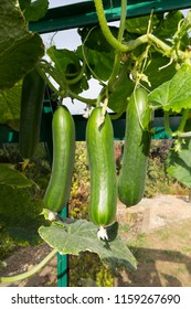 Cucumbers hanging from a plant in a greenhouse - variety is Tiny Tot