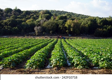 Cucumbers on the farmland in Israel