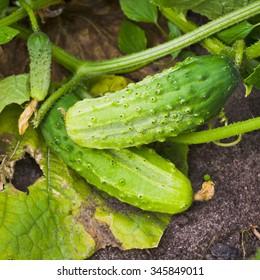 Cucumbers ripen in the garden